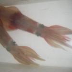 marea40-Tintenfische
